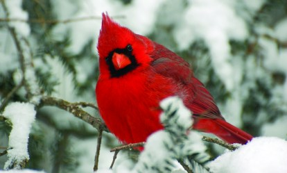 holiday_cardinal